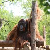 绿色青年行动 | 庆祝地球日:认养猩猩